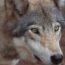 dormir-avec-les-loups-hebergement-loup-parc-omega-quebec-le-mag