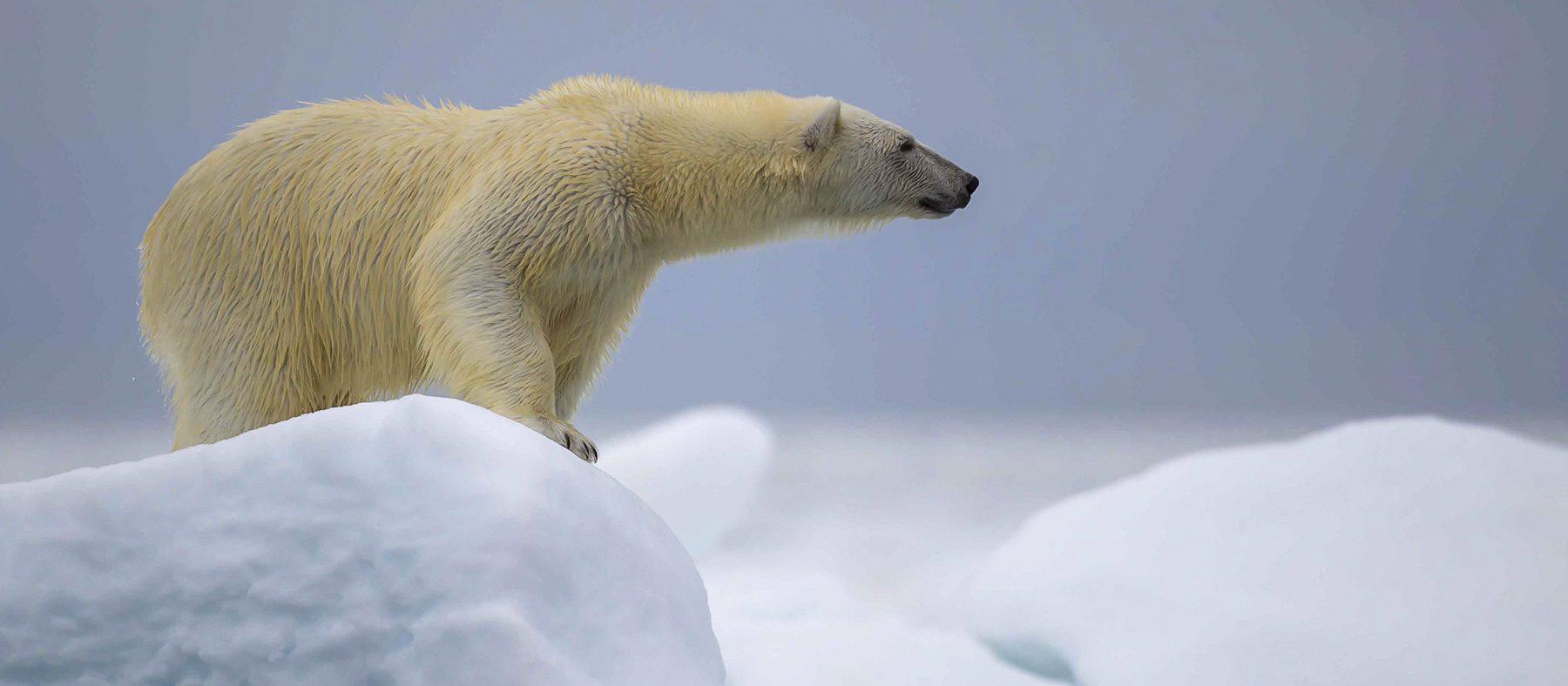 observation-de-la-faune-quebec-ours-polaire-quebec-le-mag