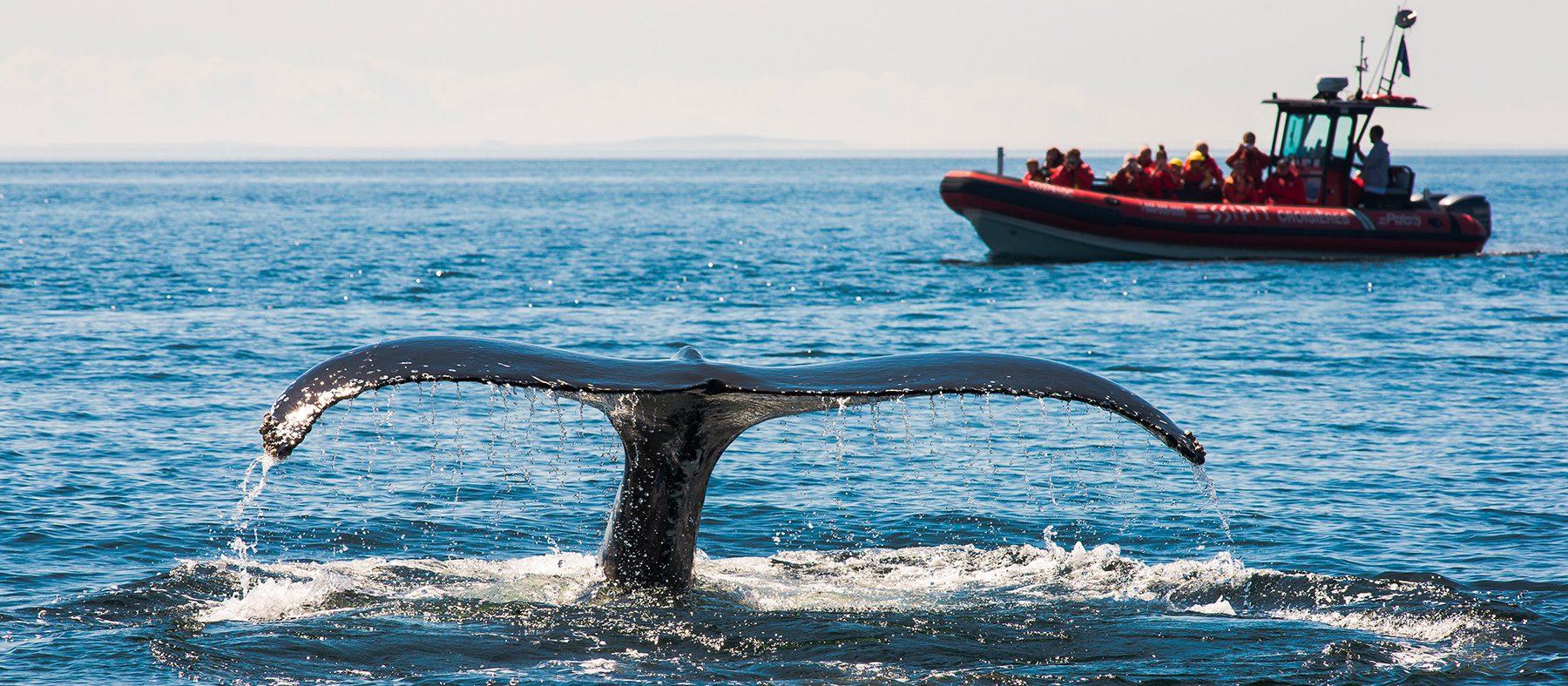 vivre-le-quebec-autochtone-observation-de-la-faune-baleine-quebec-le-mag