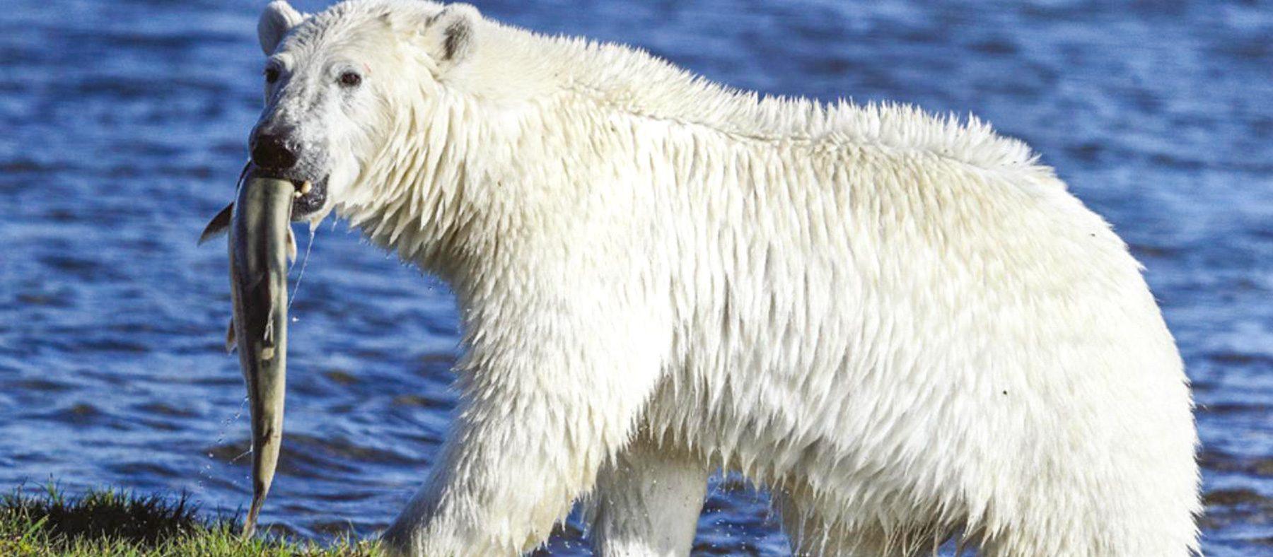 vivre-le-quebec-autochtone-observation-de-la-faune-ours-polaire-quebec-le-mag