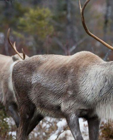 experience-observation-de-la-faune-caribou-quebec-le-mag