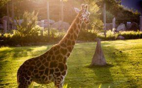 zoo-de-granby-cantons-de-lest-girafe-quebec-le-mag