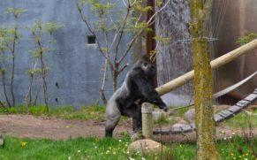 zoo-de-granby-cantons-de-lest-gorille-quebec-le-mag