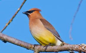 parc-de-la-gatineau-outaouais-jaseur-oiseau-quebec-le-mag