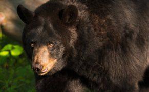 parc-national-des-hautes-gorges-de-la-rivière-malbaie-charlevoix-ours-brun-quebec-le-mag