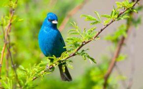 parc-de-la-gatineau-outaouais-oiseau-passerin-indigo-quebec-le-mag