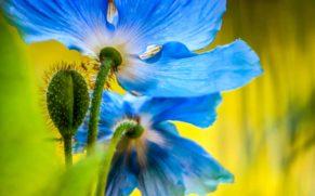 jardins-de-metis-gaspesie-pavot-bleu-quebec-le-mag