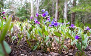 jardins-de-metis-gaspesie-pulmonaire-fleur-quebec-le-mag