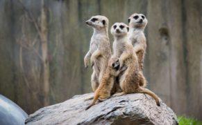 zoo-de-granby-cantons-de-lest-suricate-quebec-le-mag