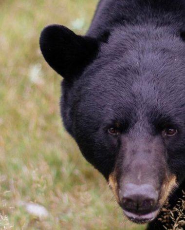 experience-observation-de-la-faune-ours-blanc-ours-noir-quebec-le-mag