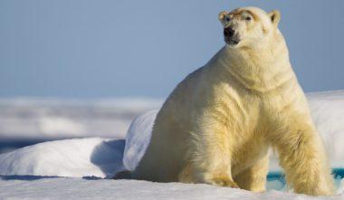 ours-polaire-debout-nunavik-quebec-le-mag