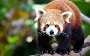 panda-zoo-de-saint-felicien-saguenay-lac-saint-jean-quebec-le-mag