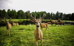 zoo-sauvage-saint-felicien-saguenay-lac-saint-jean-animaux-observation-biche-quebec-le-mag