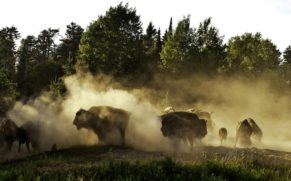 zoo-sauvage-saint-felicien-saguenay-lac-saint-jean-animaux-observation-bison-quebec-le-mag