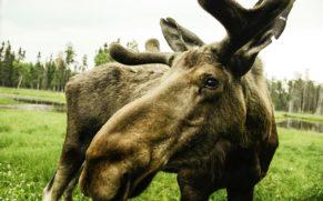 zoo-sauvage-saint-felicien-saguenay-lac-saint-jean-animaux-observation-orignal-quebec-le-mag