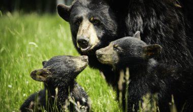zoo-sauvage-saint-felicien-saguenay-lac-saint-jean-animaux-observation-ours-noir-quebec-le-mag