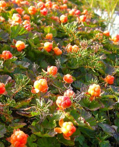 petits-fruits-nunanik-aqpiit-quebec-le-mag