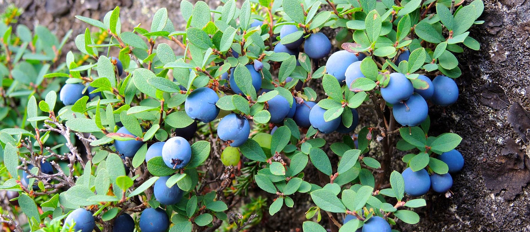 petits-fruits-nunanik-bleuets-quebec-le-mag