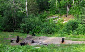 okwari-aventure-observation-ours-noir-saguenay-lac-saint-jean-quebec-le-mag