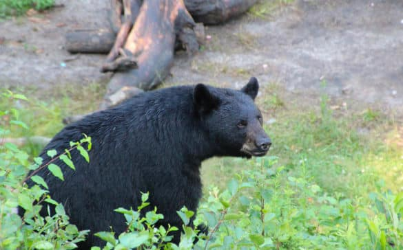 ours-noir-ete-okwari-aventure-quebec-le-mag