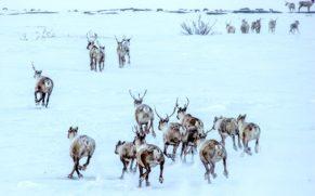 caribou-tourisme-nunavik-atr-quebec-le-mag